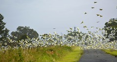 corellas crossing (dustaway) Tags: autumn flock australia aves nsw australianbirds cacatuasanguinea cacatuidae northernrivers swanbay richmondvalley psittaculidae richmondriverfloodplains litlecorella
