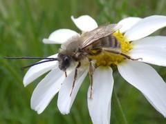 Eucera sp. m (bego vega) Tags: madrid macro animal insect bee abeja vega margaritas bv bego insecto hymenoptera elpardo apoidea eucera eucerini himenoptero