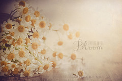 Camomile (Ro Cafe) Tags: flowers light stilllife daisies soft quote textured camomile nikond600 nikkormicro105f28
