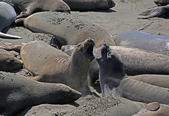 Elephant seals (zgrial) Tags: california statepark beach nature coast wildlife seal sansimeon elephantseal molting animalbehaviour zgrial
