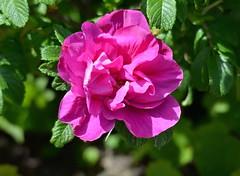 Wild Rose (Neal D) Tags: flower rose bc blossom surrey crescentbeach wildrose