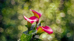 Zantedeschia - 2016 Redux (Bokehschtig (busy)) Tags: flower dof bokeh sony grlitz 100mm depthoffield f28 a7 meyer zantedeschia trioplan sonya7 trioplann28100