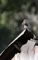 Sycamore Grove 4-17-16 (8) (tpbsr) Tags: birds owl april woodpeckers livermore lvcc sycamoregrove sycsmoregrove
