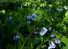 Bluebells (pilechko) Tags: flowers light color bluebells pennsylvania newhope bowmanshill