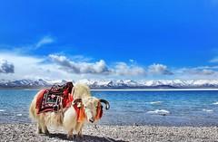 () Tags: china blue sea lake nature water animal landscape scenery tibet serene
