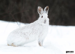 SnowShoe Hare (Corey Hayes) Tags: winter snow cold mammal hare coreyhayes
