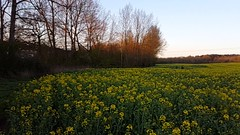 Morning Yellow (Droitwich Dwellers) Tags: flowers flower yellow jrt jackrussell crops worcestershire boycott rapeseed droitwich worcs farmersfield schnoobe