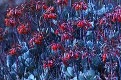 beautiful invasion (Jerryhattric) Tags: newzealand coast succulent track walk nz bankspeninsula invasiveweed cotyledon orbiculata boulderbay panasoniclumixdmcfz200 nationalpestplantaccord