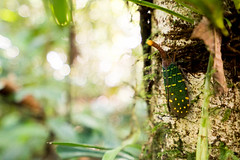 _DSC0742.jpg (sunriseOdyssey) Tags: nationalpark borneo lanternbug sarawakmulu gunangmulunationalpark