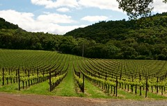 Wine Beginnings (Greg Vierra) Tags: winery napavalley rollinghills grapevines sthelenaca chappelletwinery