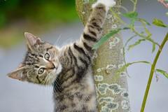 Kitty_004 (Frau_Anna) Tags: baby playing animal animals cat tiere kitten sweet outdoor kitty climbing katze haustier kater niedlich krallen