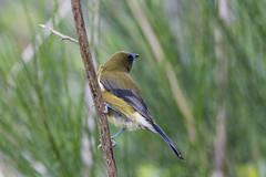 Korimako (Brendon & Keryn) Tags: autumn newzealand wellington northisland zealandia bellbird korimako anthornis melanura