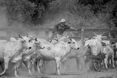 Entre las vacas (julia zabrodzka) Tags: bw estancia paraguay chaco gauchos vacas praca vaquero krowy zwierzta czarnobiae paragwaj bydo kowboje