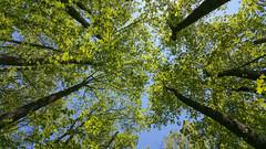 Forest Spring (Alfred J. Lockwood Photography) Tags: trees sky nature leaves forest landscape spring afternoon southcarolina sumternationalforest samsunggalaxyphone alfredjlockwood