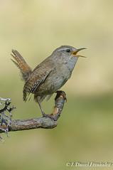 El cantautor (Dani (Atrus)) Tags: espaa naturaleza birds fauna spain aves winterwren troglodytestroglodytes chochncomn jdanielfernndez elrincndelosprotegidos