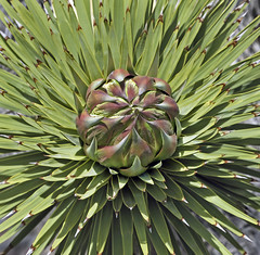 Joshua Tree (Yucca brevifolia) (Ron Wolf) Tags: california tree nature nationalpark joshuatree salinevalley yuccabrevifolia deathvalleynationalpark asparagaceae