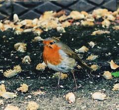 Robin (memake) Tags: bird robin spring robinredbreast