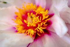 Peony Study #1 (Rice Bear) Tags: pink white flower macro floral yellow purple peony pistil stamen