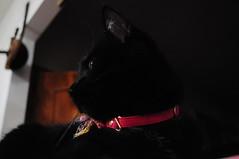 nana (yokomonamour1) Tags: blackcat gattonero animaledomedtico