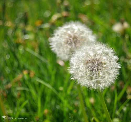 Dandelion Wishes (REA // Photography) Tags: flower floral spring dream dandelion wishes wish inspirational wishing makeawish