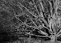 tanglewood (dick_pountain) Tags: trees blackandwhite london blackwhite parliamenthill