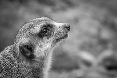 DSC_5005 (Nadja E.) Tags: tierpark erdmnnchen tierparkhellabrunn