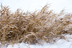 Grass (andrey.senov) Tags: russia kostroma winter frost snow january grass        fujifilm fuji xa1 fujifilmxa1 35faves