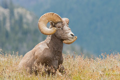 Bighorn Sheep ram. Rocky Mountain National Park.