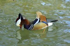 Duck (Vladi Stoimenov) Tags: pictures lake colour bird water birds germany munich münchen photo nikon colours harmony nikkor 70200 vladi d7000 onlythebestofflickr