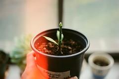 baby graft (susan xie) Tags: cactus film 35mm minolta kodak graft x700