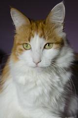 Lena (4s0r) Tags: pet animal cat kitten gato mascota gatita