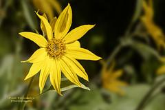 Arrowleaf Balsaroot at Grand Teton National Park, Wyoming (D200-PAUL) Tags: nationalpark wyoming tetons tetonrange grandtetonnationalpark balsamorhizasagittata arrowleafbalsamroot thetetons okanagansunflower paulfernandez sunflowerokanagan