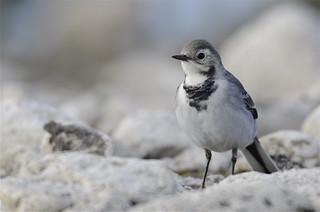 Maríuerla - White Wagtail - Motacilla alba