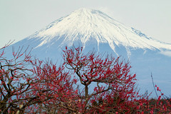 Fuji and plum blossoms (shinichiro*) Tags: winter snow japan daylight fuji ume crazyshin shizuoka  2016   frbruary   sd1m sigmasd1merrill sigma18300mmf3563dcmacrooshsm 20160206sdim0519 piumblossoms