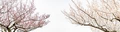 (Polotaro) Tags: panorama flower nature pen olympus   2     mzuikodigital45mmf18 epm2