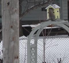 ** Le p'tit v'limeux ** (Impatience_1) Tags: squirrel birdhouse m impatience cureuil coth supershot nichoir cabanedoiseaux coth5 sunrays5
