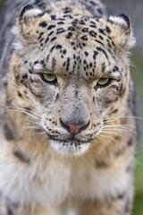 Close up of Pator (Tambako the Jaguar) Tags: wild portrait male face cat walking zoo switzerland big nikon close fluffy basel coming snowleopard approaching d4 uncia