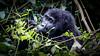 Mountain gorilla (Lil [Kristen Elsby]) Tags: africa travel nationalpark gorilla wildlife topv1111 uganda primate gorillas travelphotography bwindi mountaingorilla bwindiimpenetrablenationalpark canon5dmarkii bikingi bikingigroup bikingifamily
