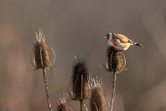 Chardonneret lgant - Carduelis carduelis - European Goldfinch - Putter (tchikedou) Tags: bird nature oiseau putter cardueliscarduelis europeangoldfinch chardonneret chardonneretlgant oostmaarland