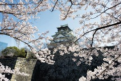 Sakura Castle (Dan Chui (on/off!)) Tags: park travel flowers trees roof sky sun castle history japan stone wall architecture clouds garden cherry landscape geotagged outdoors spring nikon asia day bright branches famous blossoms tranquility landmark structure tiles  imperial   osaka 24mm tradition  moat kansai eaves scenics d800