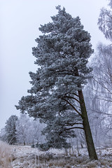 Leaning tree (Deep Space Ocean) Tags: ocean trees winter sea white mist snow cold tree ice soft frost needle fir rime needles leaning