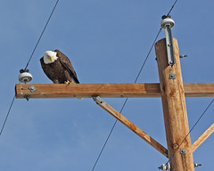 Bald Eagle 7943 (frank.kocsis1) Tags: colorado adult baldeagle adamscounty coloradowildlife frankkocsis seealbumformorephotos