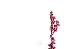 Pink Flowers (Serena178) Tags: pink flowers white macro floral bright vibrant simplicity dried simple driedflowers macromonday serenajonesphotography
