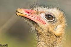 Avestruz - Ostrich (danielfi) Tags: animals fauna ngc ostrich avestruz animales cabrceno