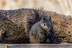 Squirrel (vernonbone) Tags: park ontario outside rodent nikon squirrel squirrels path sigma whitby stump 500mm walkingtrail lyndeshores d3200 hallsroad february2016