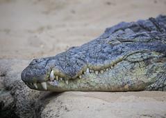 Crocodile (Hans van der Boom) Tags: netherlands animal reptile nederland amphibian crocodile nl safaripark beeksebergen noordbrabant hilvarenbeek hilarenbeek