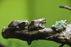 It is cold (Jason Au T.H.) Tags: green animal warm frog tropical amphibians closer
