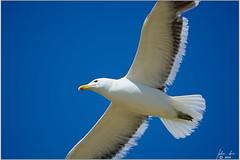 DSC_2673 Kelpmeeu (johann.spies) Tags: bird kelpgull larusdominicanus seemeeu vols kelpmeeu