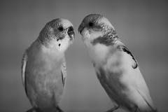 It's complicated (lostevil) Tags: blackandwhite bw pet bird love birds animal animals couple sony relationship hate budgerigar parakeet argument discussion a7 parakeets budgies budgerigars complicated status budgy relation a7ii