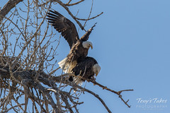Bald Eagles copulating sequence - 7 of 28